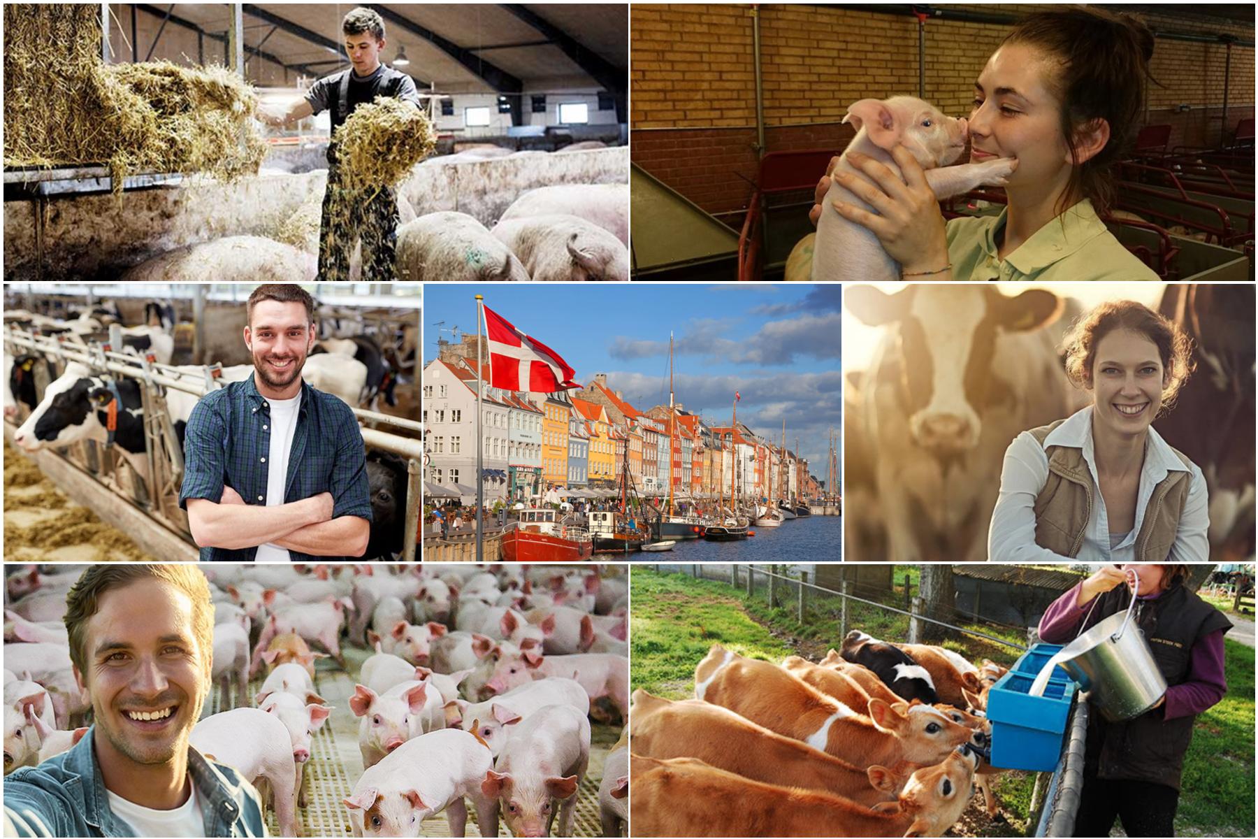 Farm-állatgondozói munka Dániában